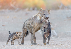 A hyena with its two pups