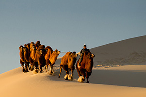 Camel train in the Gobi Desert