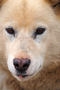 Greenland dog portrait