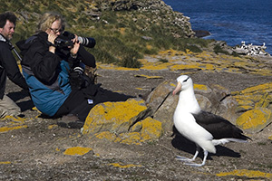 Black-browed albatross posing for photographers