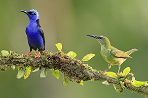 Male and female red-legged honeycreepers
