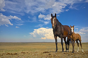 Horses on the prarie