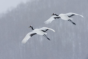 A pair of Japanese cranes in flight