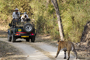 Viewing a tiger from one of our jeeps