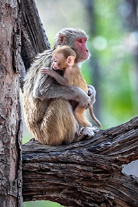 Monkey with young, India