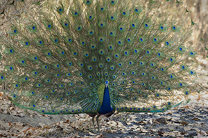 Peacock with feathers in full display
