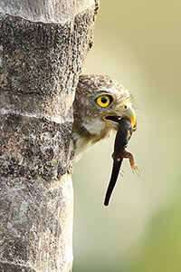 Pygmy owl with newt