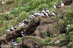 Puffins gathered on cliff