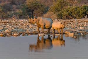 Rhinos at watering hole in Namibia