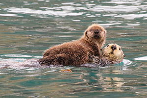 Sea otters in Kachemak Bay Alaska