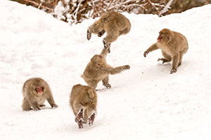 Snow monkeys in snow