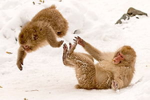 Snow monkeys wrestling in Japan