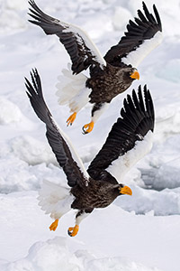 Stellars sea eagles in flight in Japan