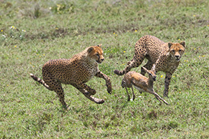 Cheetahs hunting in Tanzania