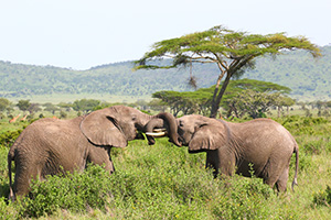 Elephants sparring in Tanzania