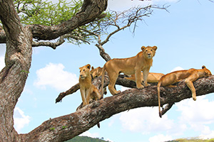 Lions in trees, Tanzania
