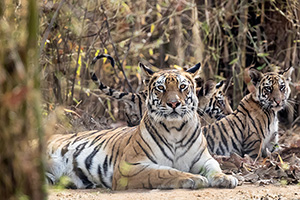Tiger with cubs