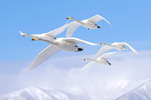 Whooper swans in flight in Japan