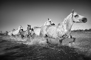 White horses of Camargue France