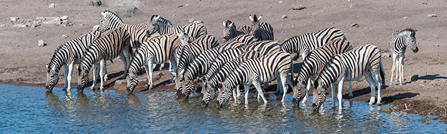 Zebras at Okaukuejo watering hole Namibia