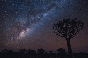 Quiver tree in Namibia against clear night sky
