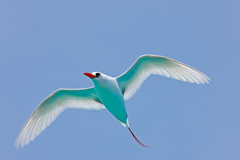 blue-red-tailed-tropicbird-sm.jpg