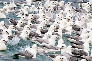 Northern fulmars in Iceland