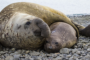 Elephant seal and pup